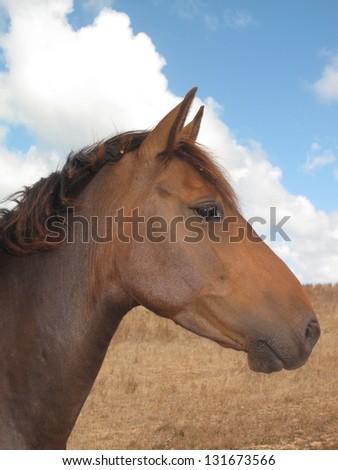 Brumby mare, Australian wild horse conservation society - stock photo