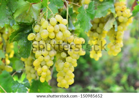 Brunch of white grape in a vineyard- stock photo - stock photo