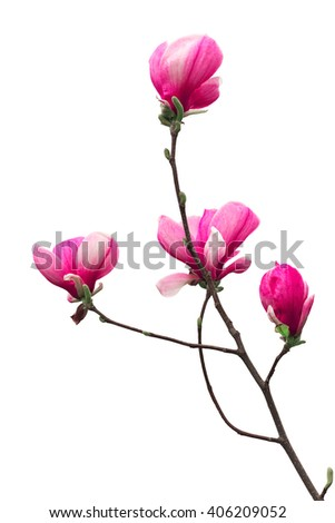 brunch with blooming pink magnolia flower buds isolated on white background - stock photo