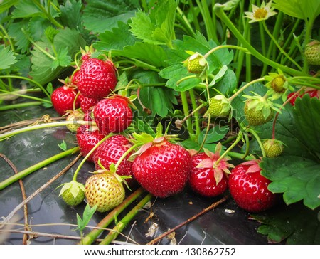 Brush the red ripe strawberry - stock photo