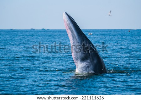 Bryde's whale, Eden's whale in gulf of Thailand