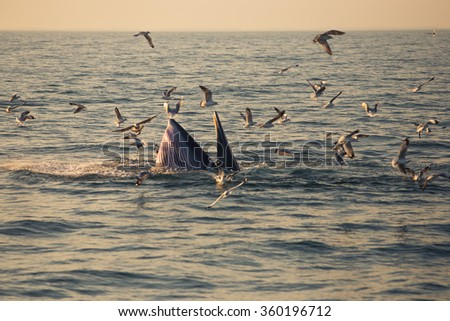 Bryde's whale feeding at evening time in the Gulf of Thailand - stock photo