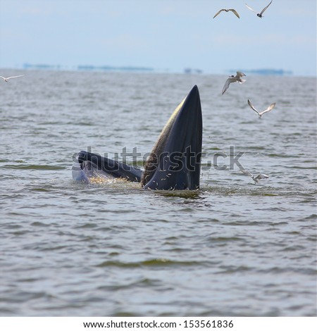 Bryde's whale in thailand.