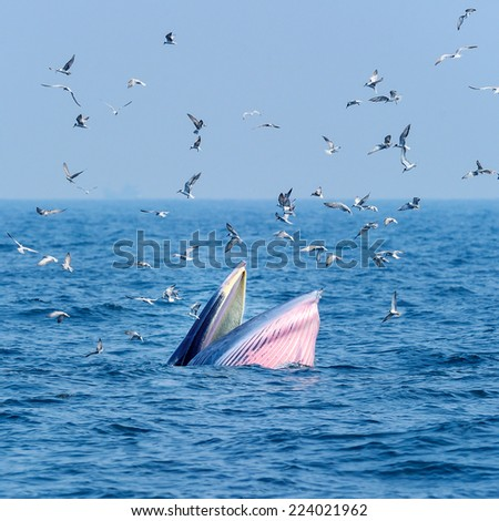 Bryde's whale in the sea. - stock photo