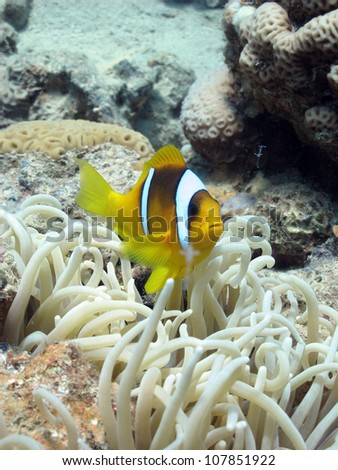 Bubble anemone with Red Sea Anemone fish - stock photo