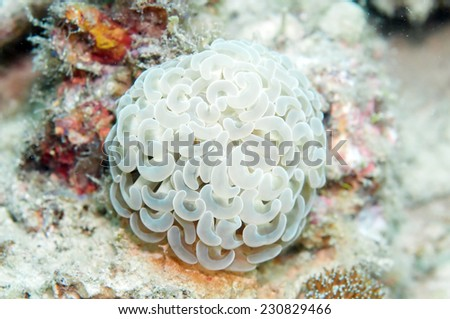 Bubble Coral or Pearl Coral,Bladder Coral in Coron,Philippines. - stock photo