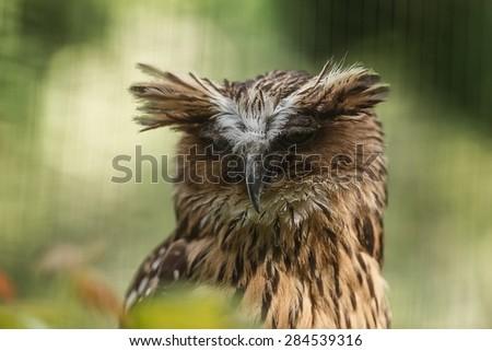 Bubo ketupu, Buffy fish owl - stock photo