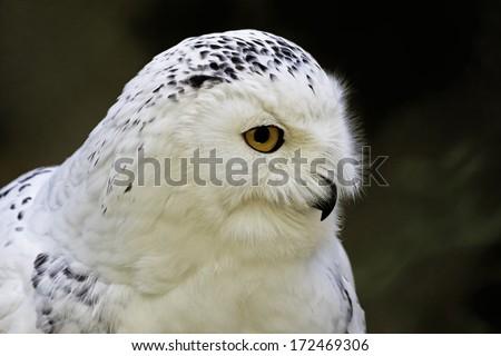 Bubo scandiacus, Great White Owl, Snow Owl - stock photo
