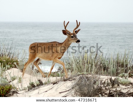 Buck by Ocean - stock photo
