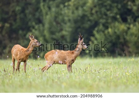 Buck deer with roe-deer in the wild