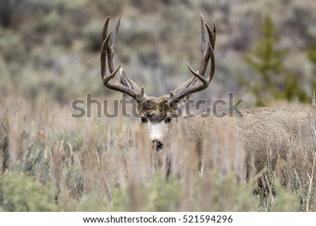Buck mule deer hiding behind grass in meadow with sagebrush