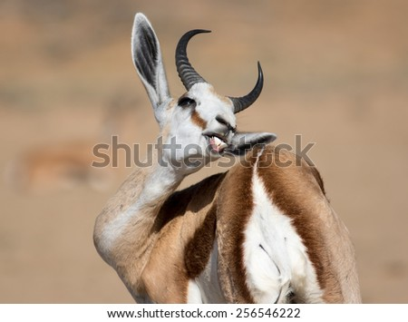 Buck teeth Springbok self grooming - stock photo