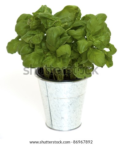 bucket with basil isolated