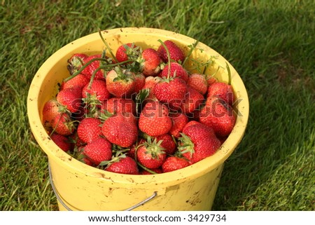 Bucket with fresh harvested strawberries