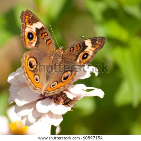 Buckeye butterfly - stock photo