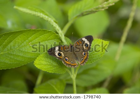 Buckeye butterfly on plant - stock photo