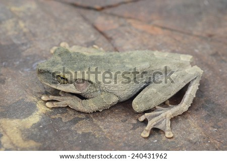 Buckley's slender-legged tree frog (Osteocephalus buckleyi)