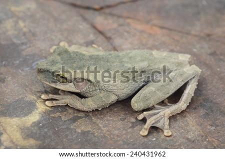 Buckley's slender-legged tree frog (Osteocephalus buckleyi) - stock photo