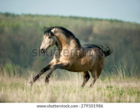 buckskin authentic baroque lusitano horse galloping through sring field