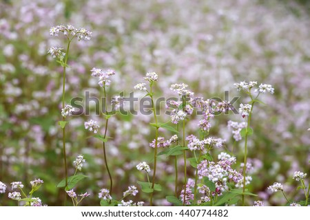 Buckwheat flower field with clear detail pink flowers and white as timeless beautiful tapestry. Buckwheat also making major food crops for farmers in mountainous Northwest Vietnam