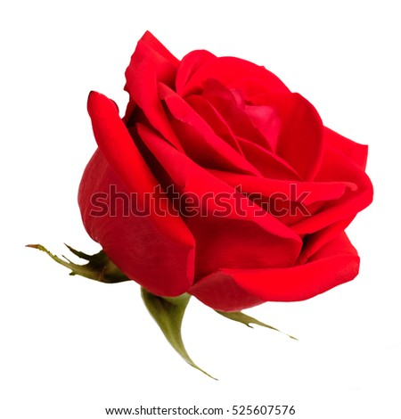 Bud fresh bright red roses on a white background