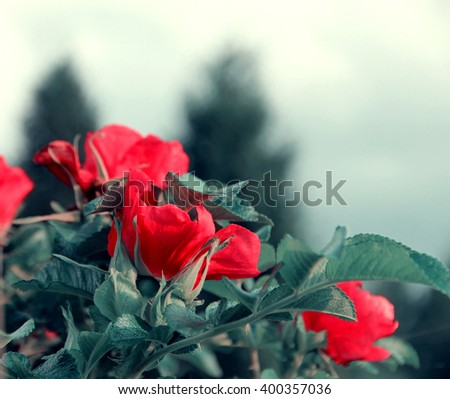 Bud of a blooming wild rose macro. Red flowers - stock photo