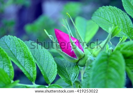 bud of a pink blooming wild rose macro - stock photo