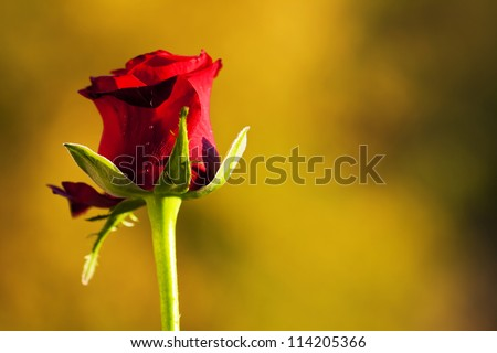 Bud of a red rose on a yellow background with dark areas. - stock photo
