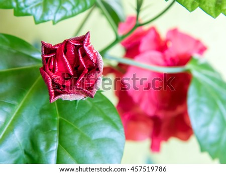 Bud of Red Hibiscus flower with green leafs - stock photo