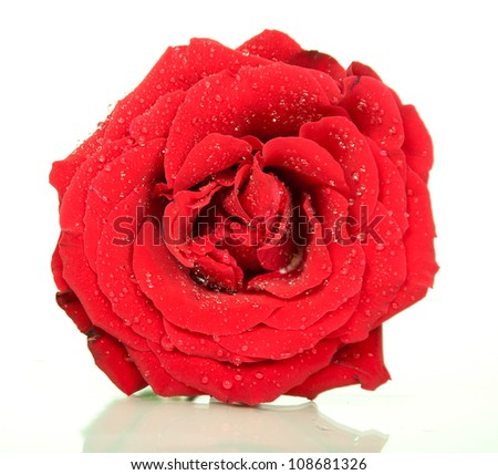 Bud of red rose on white background