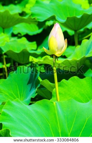Bud of the white lotus flower