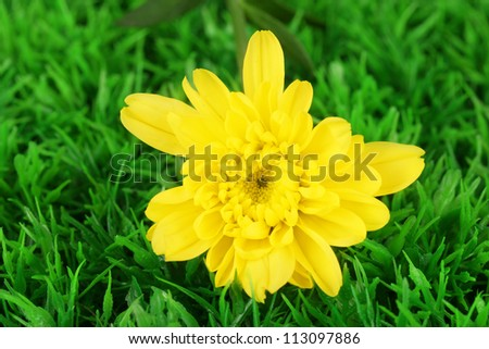 bud of yellow chrysanthemums on the green grass close-up
