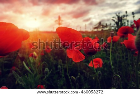 bud wild poppy flower in a field with grasses at sunset - stock photo