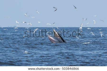 Buda whales in the Gulf of Thailand