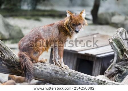 BUDAPEST, HUNGARY - MAY 04 2014: Red wolf sits on a tree at the zoo in Budapest