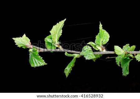 budding birch leafs - stock photo