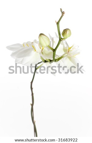 Budding stem of a white orchid - portrait interior