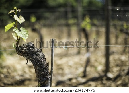 Budding vineyards in Tuscany, Italy - stock photo