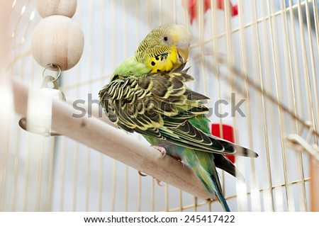 budgerigar cleans feathers - stock photo