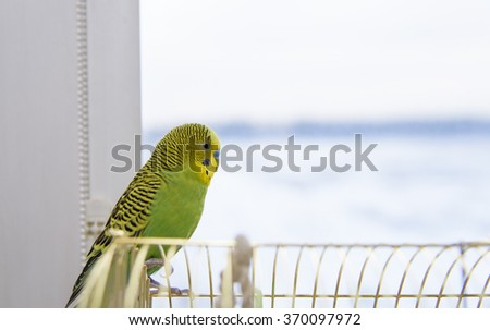 Budgerigar sits on the cage. Budgie Parrot looking out the window - stock photo