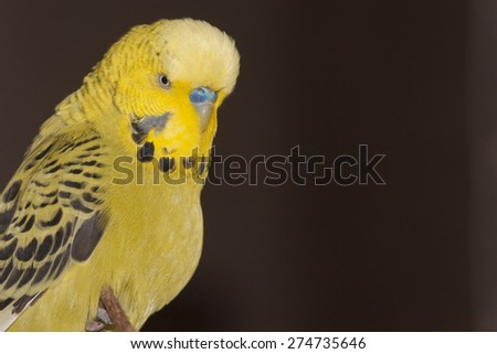 Budgerigars are often called Budgies and are common, in the UK at least, as pets  - stock photo