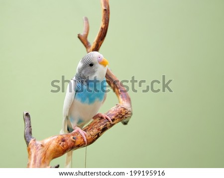 budgie - stock photo