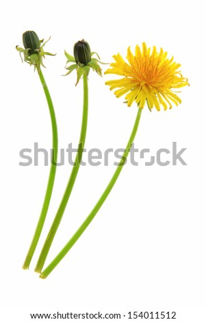 Buds and a flower of dandelion (Taraxacum officinale), isolated in front of white background - stock photo