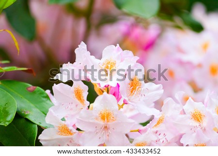 buds of pink rhododendrons in summer, lush flowers background - stock photo