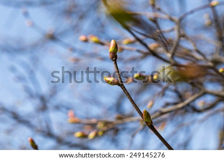 Buds on a tree at the spring time - stock photo