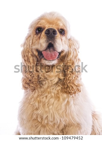 Buff Cocker Spaniel dog head shot mouth open isolated on white - stock photo