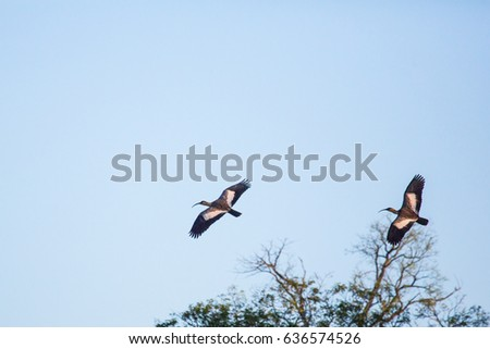 buff-necked ibis flying in Pantanal, Brazil