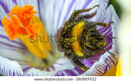 Buff-tailed Bumblebee emerging from a crocus flower covered in pollen