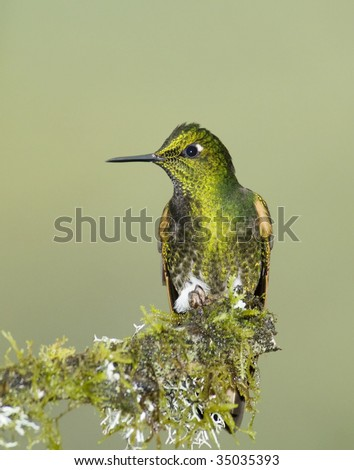 Buff-tailed Coronet hummingbird (Boissonneaua flavescens) perched on a mossy branch - stock photo