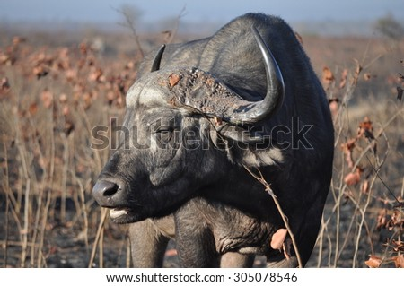 Buffalo - stock photo